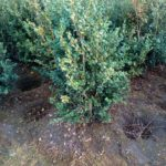 Buxus semp. 'Rotundifolia'