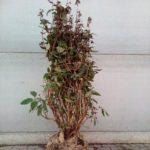 Hydrangea aspera 'Mauvette'