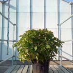 Hydrangea macrophylla 'Mdm Moullière'