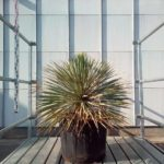 Yucca Rostrata 'Blue Swan'