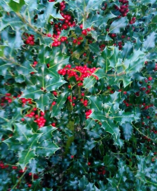 Ilex aquipernyi 'dragon lady'