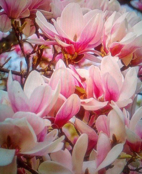 Magnolia loebnerii 'merill'