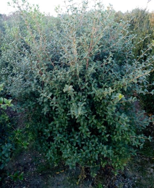 Osmanthus heterophyllus purpureus